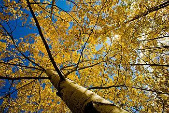 Image of tree on UAF campus in fall.