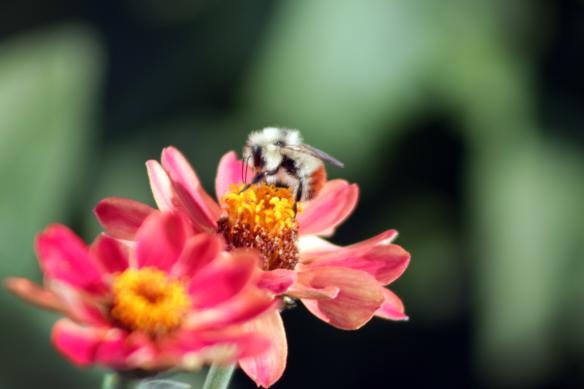 Photo of bee and flower.