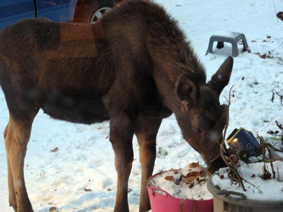 Moose eating flowers.