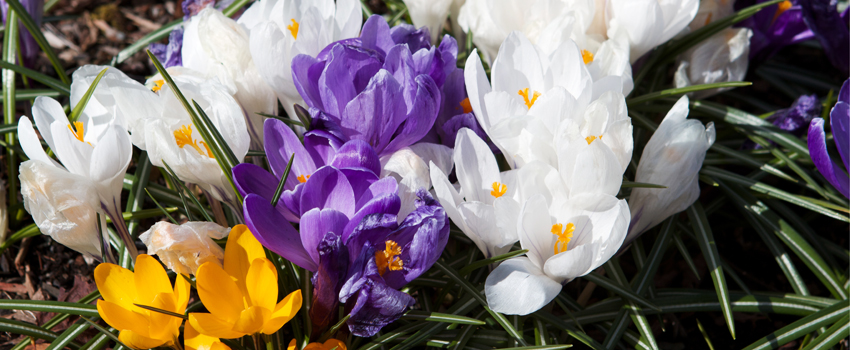 Photo of a spring crocuses