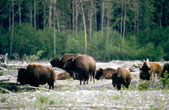 Wood bison (bison athabascae) near running water along the South Fork of the Kuskokwim River. BLM photograph